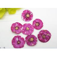 Dye Absorption Daisy Dried Flattened Flowers , Mini Dried Flowers True Plants Specimens