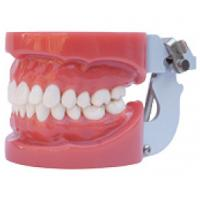 Buy cheap Standard Oral Dental tooth teaching model----A1 from wholesalers