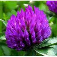 Buy cheap Organic Red Clover extract from wholesalers