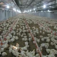Buy cheap Steel Structure Chicken Poultry Shed (PS-001) from wholesalers