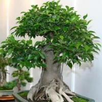 Buy cheap Without Leaves Ficus ginseng bonzai (Mini Plants) from wholesalers