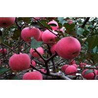 Buy cheap No Wounds Sweet Nutrition Fuji Apple Cold Storage For Supermarket, Product quality fine from wholesalers