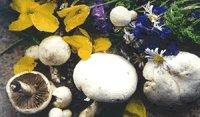 Buy cheap White Mushrooms of the Prairie from wholesalers