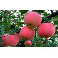 Buy cheap Smooth Fresh Red Fuji Apple Good Taste Containing Beta-Carotene from wholesalers