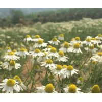 Buy cheap Dried CHAMOMILE FLOWER ROMAN Chamomillae romanae flos for herb Yang gan ju from wholesalers