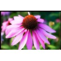 Buy cheap Echinacea Extract/ Echinacea/ Polyphenol from wholesalers