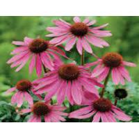 Buy cheap Echinacea Extract,Echinacea Purpurea,Yellow Brown,Polyphenol  4.0%,2% Cichoric Acid,Herbal Extract from wholesalers