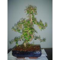 Buy cheap Mini Bonsai from wholesalers