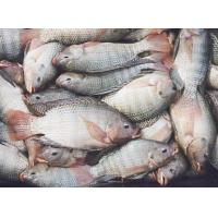 Buy cheap Shallow skinned tilapia fillet from wholesalers
