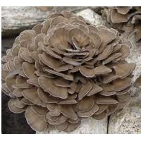 Buy cheap Organic Grifola frondosa powder / Organic Maitake mushroom powder from wholesalers