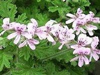 Buy cheap Geranium Oil, Essential Oil from wholesalers