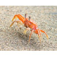 Buy cheap frozen three spotted crab product