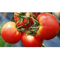 Buy cheap 100% Natural Solanum lycopersicum Tomato Extract/Lycopene/ Love Apple Extract from wholesalers