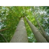 Buy cheap manufacture supply wholesale moringa tree leaf powder suppliers import china products from wholesalers