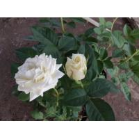 Buy cheap 2019 China hot sale & high quality wholesale fresh cut rose for wedding white rose flower best selling in UK/USA from wholesalers
