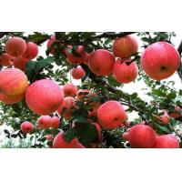 Buy cheap Crunchy Juicy Sweet Red Fuji Apple 0.15kg From Pollution Free from wholesalers