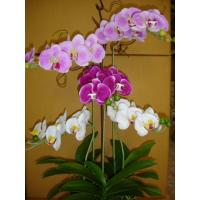 China 2012 new phalaenopsis orchids for home decoration on sale