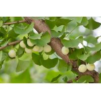 Buy cheap 100% Ginkgo Biloba Leaves Extract in Regulation of Blood System/Flavones 24% Terpene Lactones 6%/Ginkgo Biloba Extract product