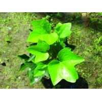 Buy cheap Common ivy Hedera helix herb ivy league extract /HederanepalensisK, Kochvar.sinensis from wholesalers