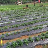Buy cheap Weed barrier agricultural mulch film,black silver strawberry ground cover mulching layer,plastic poly reflective film product