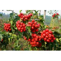 China dried hawthorn berry extract fruit leaf extract with flavone 5%-80% hawthorn leaf extract on sale