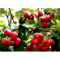 Buy cheap Hawthorn Fruit Extract Powder 10:1 from wholesalers