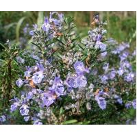 Buy cheap Supply Excellent Quality Rosemary Extract Rosmarinic Acid from wholesalers