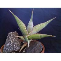 Buy cheap small golden sansevieria container indoor plant from wholesalers