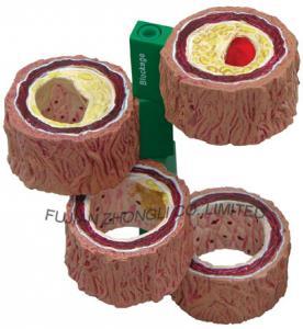 Buy cheap Artery Model,anatomy model product