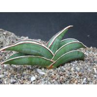 Buy cheap mini bonsai sansevieria indoor plants from wholesalers