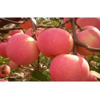 Buy cheap Crisp Fresh Organic Fuji Apple Containing Carbohydrates , Sugars For Market from wholesalers