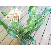 Buy cheap ornamental tropical foliage indoor green plants (Sanseviera) from wholesalers