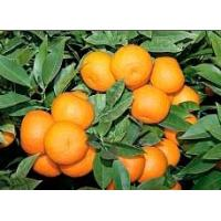 Buy cheap Citrus Aurantium Powder Extract from wholesalers