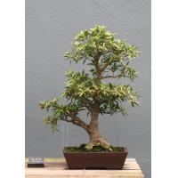 Buy cheap Ficus microcarpa mini bonsai Nursery from wholesalers