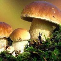 Buy cheap Boletus Edulis, Available in Fresh/Dried/Sliced/Frozen Types from wholesalers