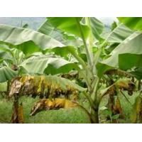 Buy cheap Banana Leaf Extract, 5:1,10:1 TLC, ingredient for fertilizer and feedstuff, Shaaanxi Yongyuan Bio-Tech, qualified export from wholesalers