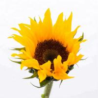 Buy cheap 2019 sun flowers fresh cut flowers  for home decoration hot selling in China from wholesalers