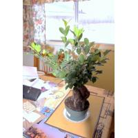 Buy cheap Large outdoor plants (ficus microcarpa bonsai trees) from wholesalers