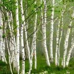 Buy cheap high purity 98% Betulin/ Betulinic aci/ Birch Bark Extract from wholesalers