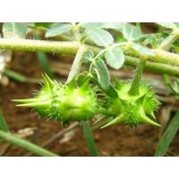 Buy cheap Health Product of tribulus terrestris extract powder with 40% Saponins from wholesalers