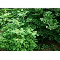 Buy cheap Eleutheroside E Natural Health Supplements CAS No.39432-56-9 1-98% Natural Plant Extract Liriodendrin product