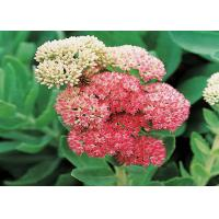 Buy cheap Salidroside CAS No.10338-51-9 1-98% Natural Rhodiola Rosea Extract product