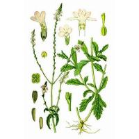 Buy cheap Verbena herb powder, Verbena officinalis Extract, Brown Fine Powder, Antiphlogistic, Antitumor, Shaanxi Yongyuan Bio-Tec from wholesalers
