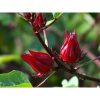 Buy cheap extract de hibiscus,hibiscus extract for hair,hibiscus flower extract skin from wholesalers