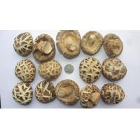 Buy cheap High Quality Shiitake Mushroom cultivated in natural farms from wholesalers