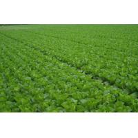 China Fresh No Infect Chinese Napa Cabbage Contains Electrolytes And Minerals, Fleshy sweet, Crisp slippery little fiber on sale