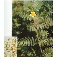 Buy cheap Herbal extract -- Tribulus Terrestris extract powder from wholesalers