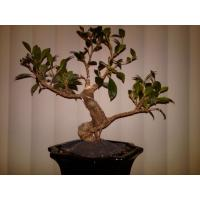 Buy cheap Outdoor Shaped ficus retusa bonsai tree from wholesalers