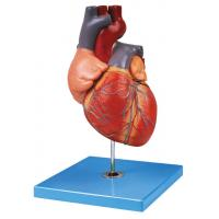 Buy cheap Hand Painted Adult  Heart Human Anatomy Model Shows Aortic Arch , Atrium , Ventricle from wholesalers