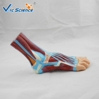 Buy cheap Laboratory Demonstrations Exhibitions 33cm Foot Anatomy Model from wholesalers